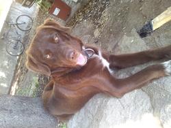 Mufassa , chien Husky sibérien
