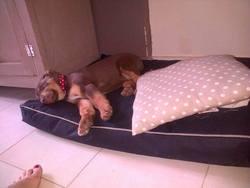 Muffin, chien Berger australien