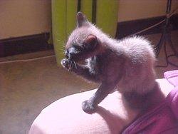 Muffin, chat Gouttière