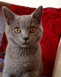 Muffin, chat Chartreux