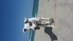 Muffin, chien Jack Russell Terrier