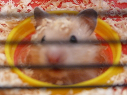 Muffin, rongeur Hamster