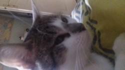 Mugi, chat Européen