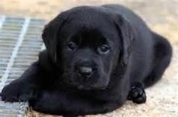 Musique, chien Labrador Retriever
