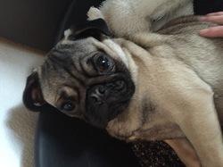 Muji, chien Carlin