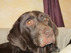 Mumu, chien Beauceron