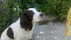 Muppet, chien Springer anglais