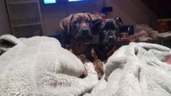 Murdoch, chien Boxer