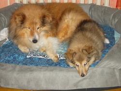 Murphy, chien Berger des Shetland