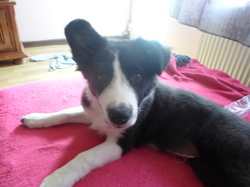 Murphy, chien Border Collie