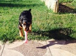 Murphy, chien Jagdterrier