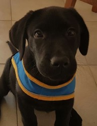 Murphy, chien Labrador Retriever