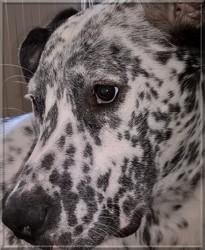 Murphy, chien Dogue allemand
