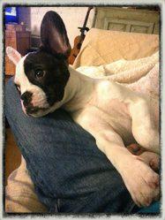 Murphy, chien Bouledogue français