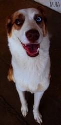 Murska, chien Husky sibérien
