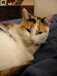 Muscade, chat Européen