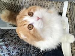 Muscade, chat Scottish Fold à poil long