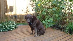 Muscade, chien Labrador Retriever