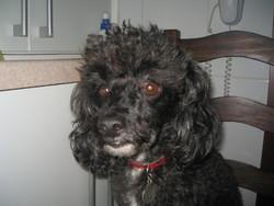 Muse, chien Caniche