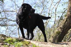 Musher, chien Labrador Retriever