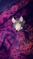 Mushi, rongeur Rat
