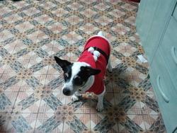Mushu , chien Jack Russell Terrier