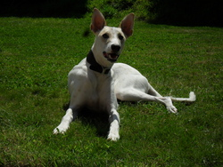 Muti, chien Lévrier espagnol