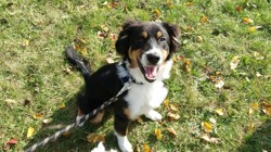Muzo, chien Berger australien