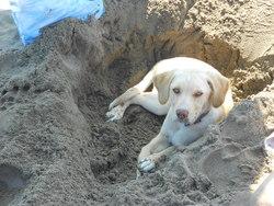 Mya, chien Labrador Retriever