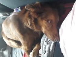 Mya, chien Golden Retriever