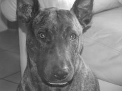Mya, chien Bull Terrier