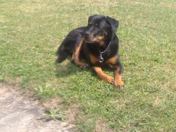 Mya, chien Rottweiler