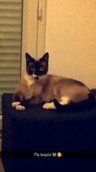 Mya, chat Siamois