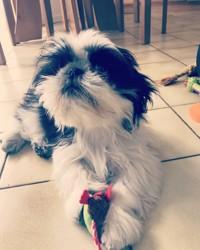Mya, chien Shih Tzu