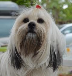 Mya, chien Lhassa Apso