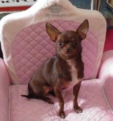 Mya, chien Chihuahua
