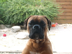 Rocky, chien Boxer