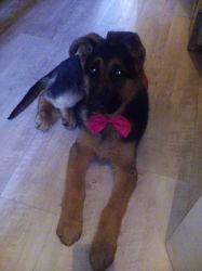 Myha, chien Berger allemand