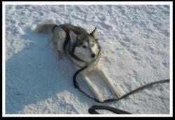 Myka, chien Husky sibérien