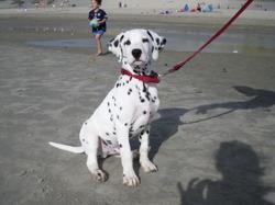 Myko, chien Dalmatien