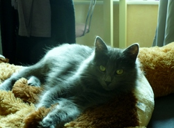 Mylady, chat Chartreux
