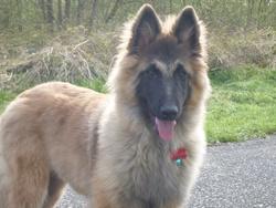 Mylan, chien Berger belge