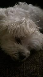 Mylédie, chien Bichon maltais
