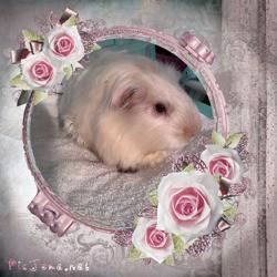 Mylésine Dcd, rongeur Cochon d'Inde