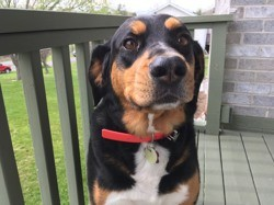 Mylie, chien Rottweiler