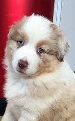Mylk, chien Berger australien