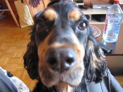 Mylka, chien Cocker anglais