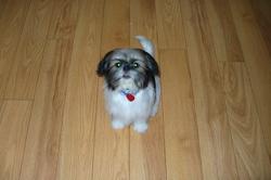 Mylo, chien Shih Tzu