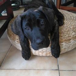 Mylo, chien Cane Corso