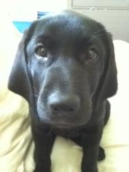 Mylo, chien Labrador Retriever